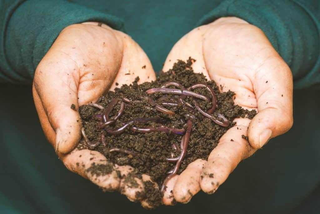 hands holding Red Wiggler worms